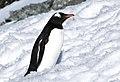 Pingüinos, Cuverville 5.jpg
