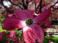 Pink-dogwood-5-04242008 - West Virginia - ForestWander.jpg