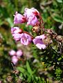Pink Mountain Heather (8560041321).jpg