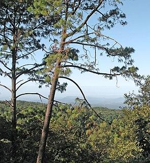 <i>Pinus douglasiana</i> species of plant