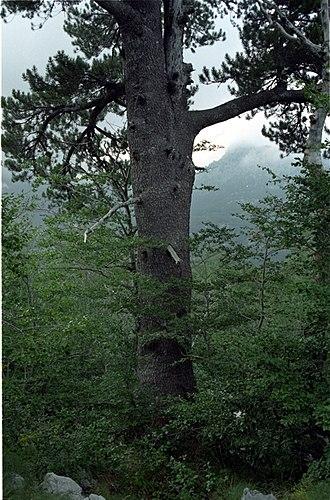 Pinus heldreichii - Image: Pinus heldreichii Orjen