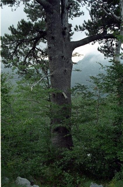 Pinus heldreichii Orjen