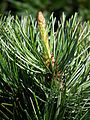 Pinus parviflora Mädchenkiefer 2011 MA.JPG