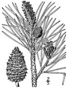 Pinus rigida drawing.png