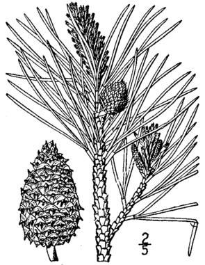 Pech-Kiefer (Pinus rigida), Zeichnung