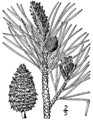 Pinus rigida drawing.png