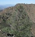 Pinus sabiniana Mount Diablo 2.jpg