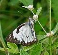 Pioneer or Caper White (Anaphaeis aurota) in Hyderabad, AP W IMG 0377.jpg