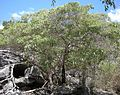 Pipturus argenteus tree.jpg