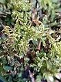 Plagiomnium undulatum 121123490.jpg