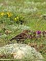 Plain Mountain Finch (Leucosticte nemoricola) (20366004173).jpg