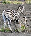 Plains Zebras (Equus quagga burchellii) mare and foal ... (32990126732).jpg