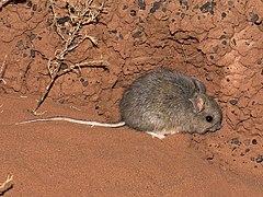 240px plains mouse (pseudomys australis)