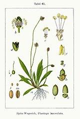 Skorocel kopijovitý (lat. Plantago lanceolata)