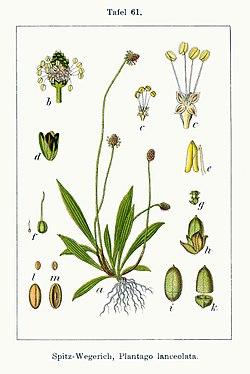 Llantén (Plantago lanceolata)
