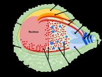 diagram of plasmodium parasite diagram together with between plasmodium falciparum and plasmodium vivax additionally plasmodium malariae wikipedia besides structure of plasmodium falciparum orotate also uncategorized science zone jamaica page 4. on plasmodium falrum cell diagram