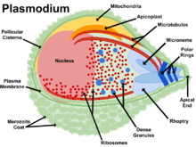 Image Result For Life Cycle Of Mosquito In Wikipedia