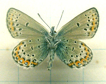 Plebeius idas male underside (Linnaeus, 1761)