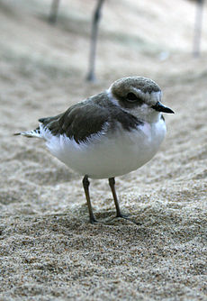 Snowy Plover Monitoring and Protection  CA State Parks