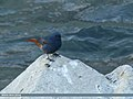 Plumbeous Water Redstart (Rhyacornis fuliginosa) (33057887071).jpg
