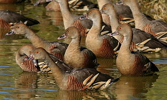 Lake Woods - The lake is an important site for plumed whistling-ducks