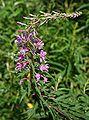 Pod lipskiem kwiat do identyfikacji 17.07.09 pl.jpg