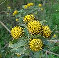 Podanthus ovatifolius (8477045217).jpg