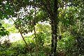 Pohon cempedak (1).JPG