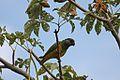 Poicephalus senegalus - Gunjur, Western Division, Gambia-8.jpg