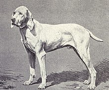 Pointer of Ariege circa 1915