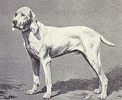 Pointer of Ariege from 1915.JPG