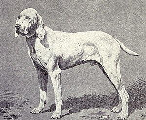 Ariege Pointer - Pointer of Ariege circa 1915