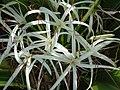 Poison Bulb crinum asiaticum (3574094437).jpg