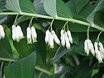 Polygonatum multiflorum 7789.jpg