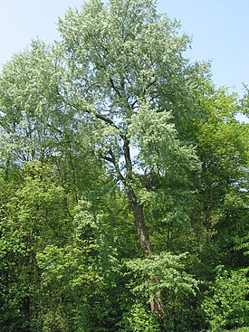 Populus canescens - Meise 070429.JPG