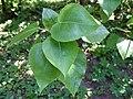 Populus wilsonii a1.jpg