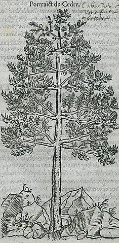 File:Portrait du Cedre - Belon Pierre - 1554 jpg - Wikimedia