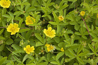 <i>Potentilla</i> Genus of flowering plants in the rose family Rosaceae