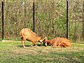 Prague Zoo - Tragelaphus eurycerus 2.jpg