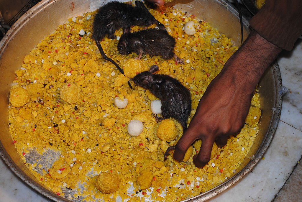 Prasad and rats inside karni mata temple