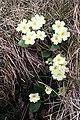 Primrose (Primula vulgaris) - geograph.org.uk - 411147.jpg