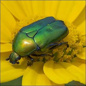 נחושתית הקוצים, שצבעה ירוק נחושת בוהק, במרכז התמונה. החיפושית במרכזו ש פרח חרצית צהוב, מסתירה את אבקני הפרח, וסביבה עלי הכותרת של הפרח.