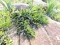 Protea parvula 15885813.jpg