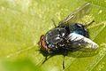 Protocalliphora.azurea.-.lindsey.jpg