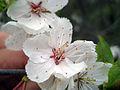 Prunus nigra 5444373.jpg