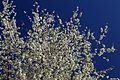 Prunus sp.-CTJ-IMG 0441.jpg