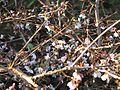Prunus subhirtella autumnalis - Flickr - peganum.jpg