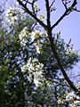 Prunus ursina 1.JPG