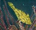 Pseudomonacanthus peroni.jpg