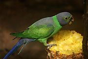 Green parrot with grey back, head, and tail
